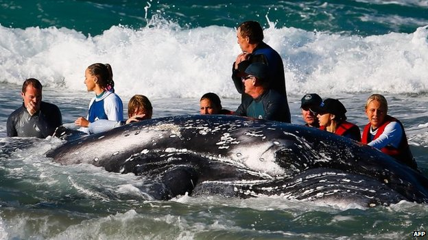 Marine rescuer workers try to rescue a humpback whale beached at Palm Beach on Queensland's Gold Coast on 9 July 2014