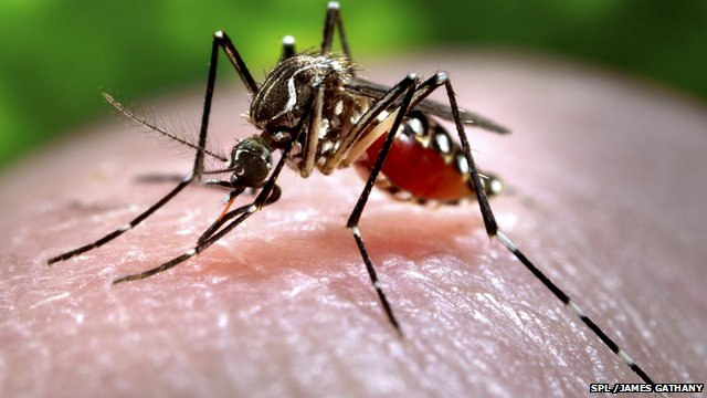 Dengue is spread by the Aedes aegypti mosquito
