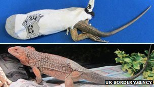 Iguanas seized at Heathrow airport