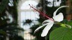 Amazonian water lily