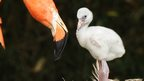 Flamingo and a chick