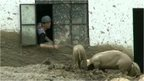 A Chinese farmer feeding pigs from inside the house through the window due to mudslides in Yunnan province.