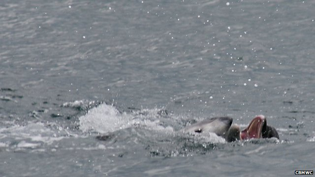 Dolphin attacks porpoise