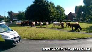 Cows on the run in Windmill Crescent, Wolverhampton