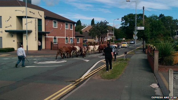 Cows in Wolverhampton