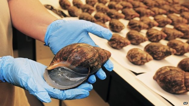 African snails seized by the USDA