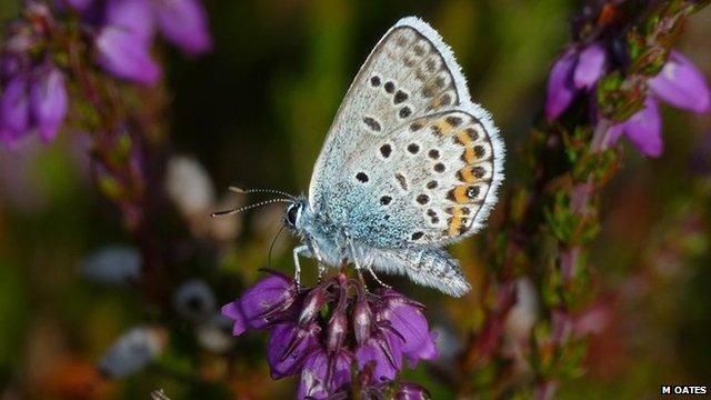 Silver studded blue butterfly (c) Matthew Oates