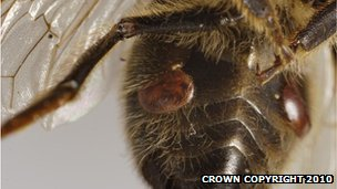 Varroa mite on bee