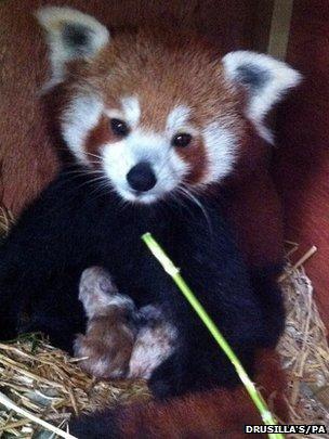 Red panda babies at Drusilla's