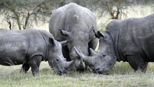 White Rhino, Kenya