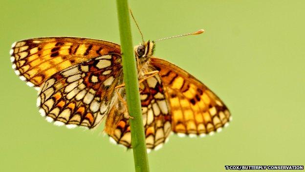 Heath Fritillary (c) Tony Fox/Butterfly Conservation