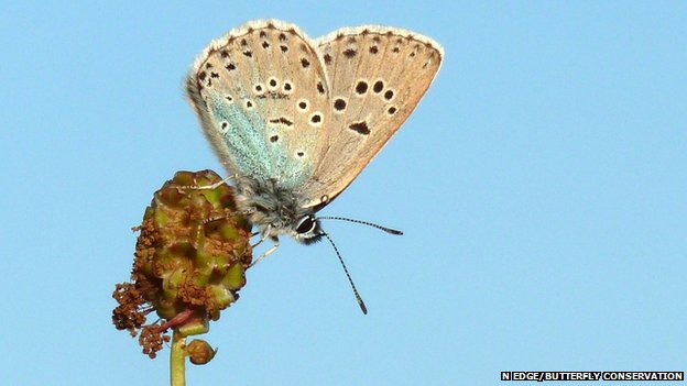 Large blue butterly (c) Nick Edge/Butterfly Conservation
