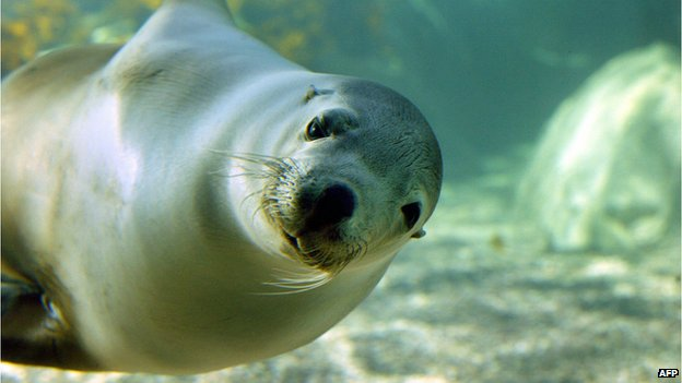 A female Australian sea lion, swims through the water in Sydney Aquarium's Seal Sanctuary on 31 March 2009