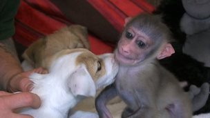 Jack Russell puppy and Mubi the babpy drill monkey