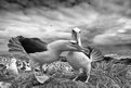 Black-browed Albatross