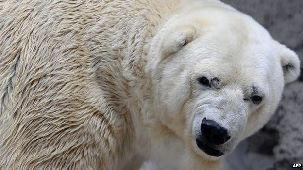 Arturo, the polar bear