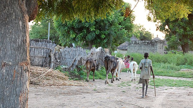 A boy walks his cows to pasture
