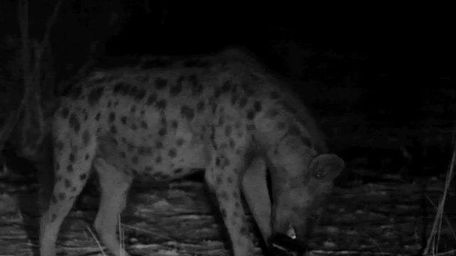 A hyena eating a camera