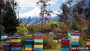 Hives in Chile