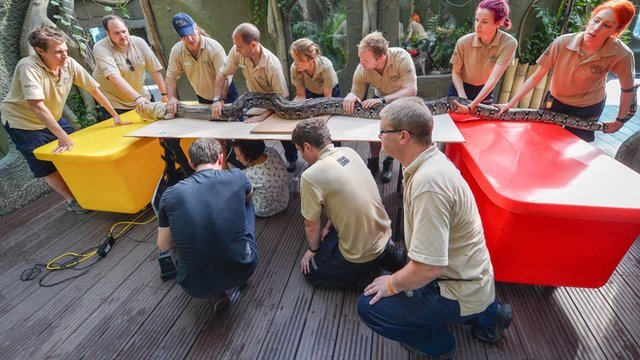 It takes a team of eight handlers to just to hold the reticulated python while it is examined