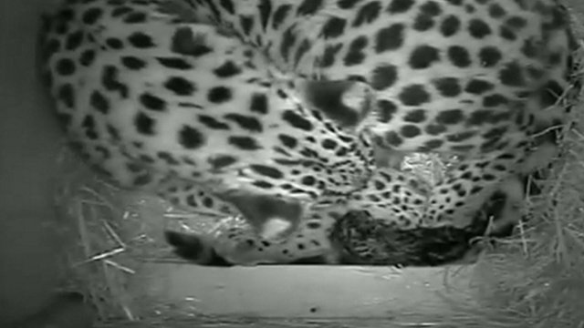 VIDEO: Amur leopards born at zoo...