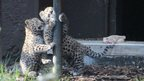 Amur snow leopards