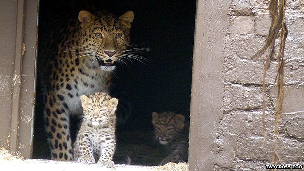 Two rare Amur leopards born at zoo...
