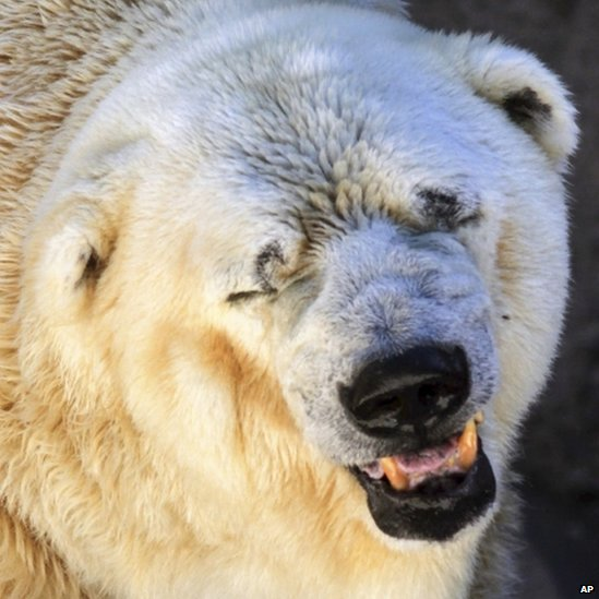 Argentina polar bear 'too old' for Canada move