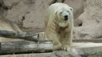 Arturo, the polar bear of the Mendoza zoo.