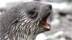 Antarctic fur seal (c) BAS