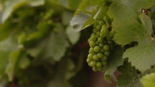 Moldovan vine