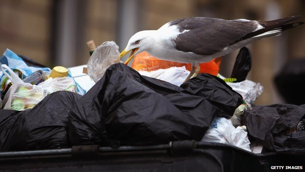 Seagull ripping into rubbish bags