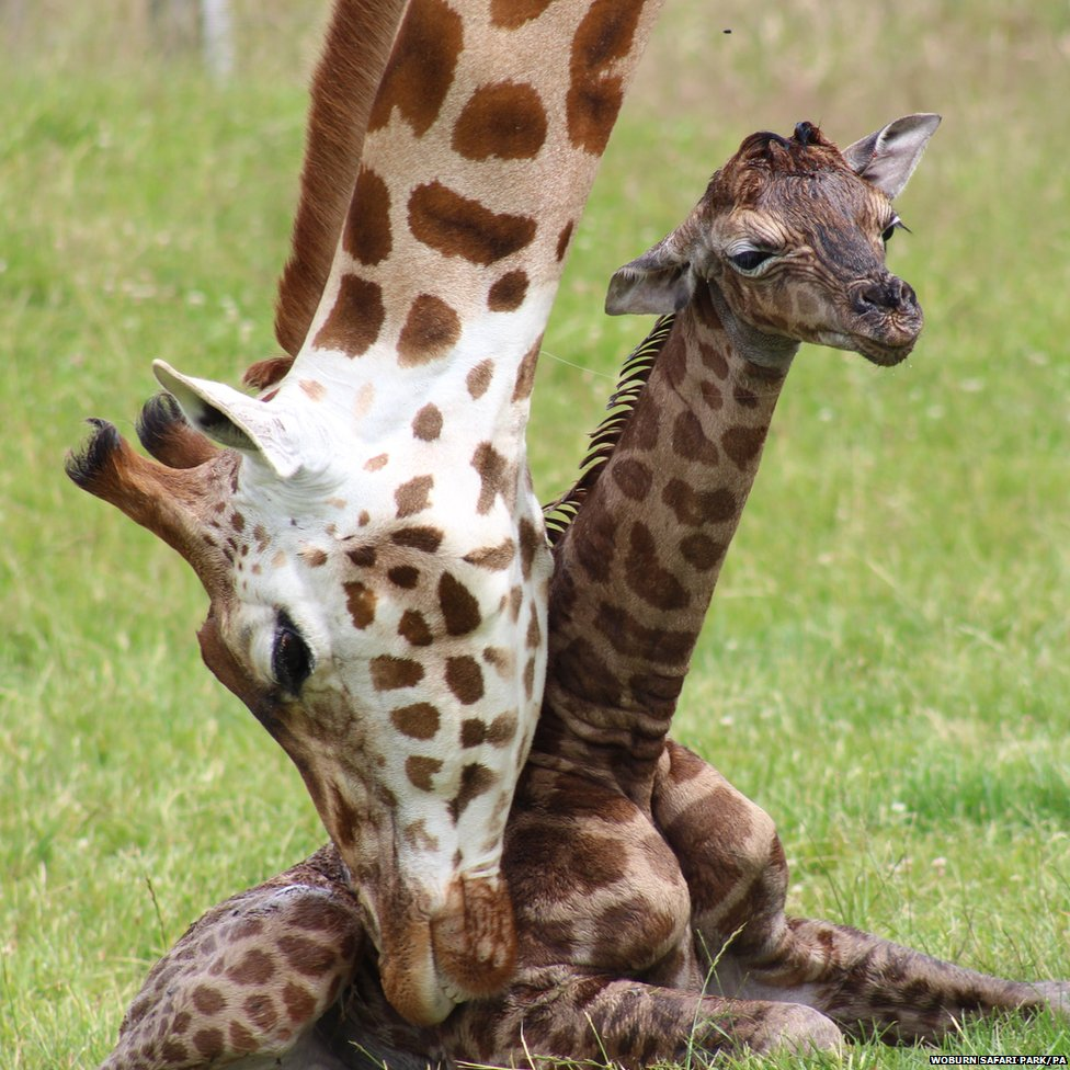 Rothschild Giraffe Freya, with her female baby giraffe calf