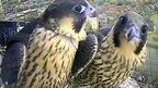 Unringed and YT peregrine falcon chicks on Norwich Cathedral