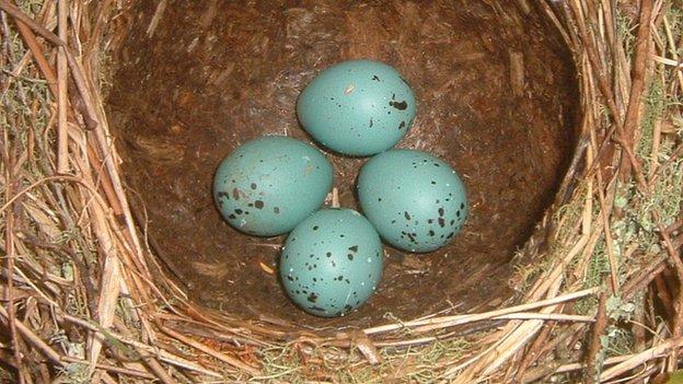 Song thrush eggs