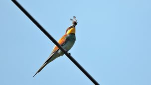 Bee-eater with a dragon fly at Wydcombe, Isle of Wight