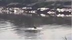 Dolphin in the River Severn