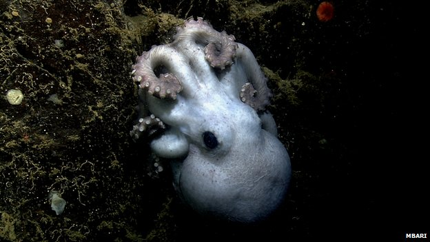 Deep-sea octopus