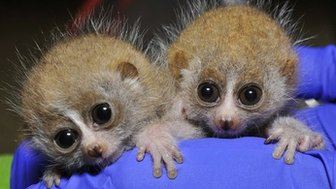Pygmy slow loris infants