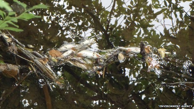 Dead fish in Moor Ditch