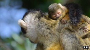 Infant squirrel monkey with its mother