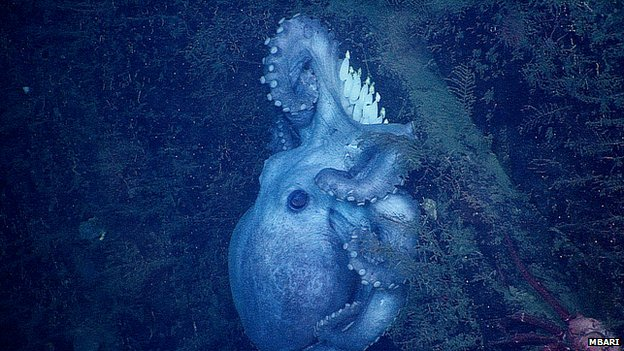 Deep-sea octopus and her eggs
