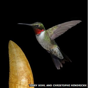 A broad-billed hummingbird (Cynanthus latirostris) in front of a tooth of a massive dinosaurian.