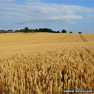 wheat fields in Emley