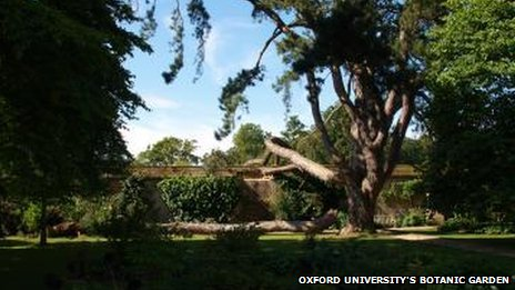 'Tolkien's Tree' in Oxford University's Botanic Garden
