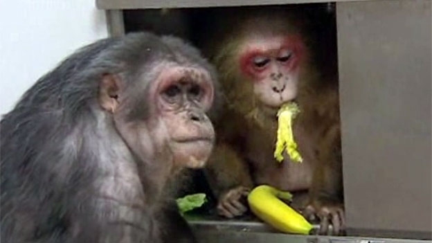 Monkeys in Oxfordshire lab