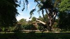 'Tolkien's Tree' in Oxford University's Botanic Garden
