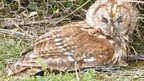 Injured owl