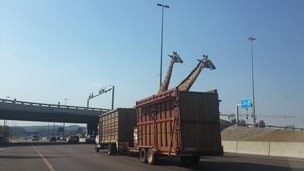 Two giraffe on the Johannesburg N1 highway