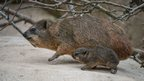 Rock Hyrax with its baby